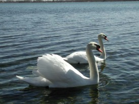 May - Swans at Cherry Beach