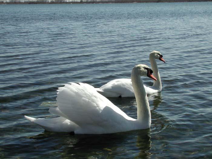May - Swans at Cherry Beach